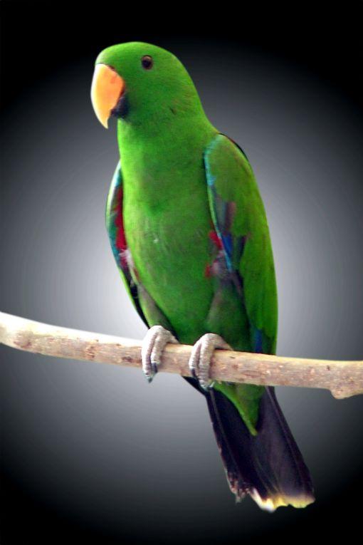 Exotic Birds For Sale >> Eclectus Parrot (Male) (Eclectus roratus vosmaeri)   Gold ...